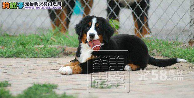 选纯种健康伯恩山犬就到专业伯恩山犬繁殖基地可办狗证