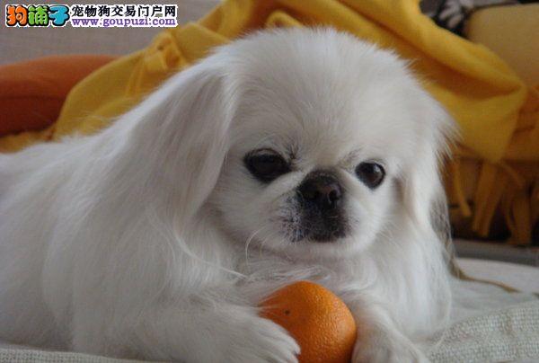 CKU犬舍认证海口出售纯种京巴下单有礼全国包邮