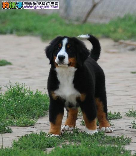 犬舍直销 伯恩山犬 和谐文雅与震撼力的结合 售后指导