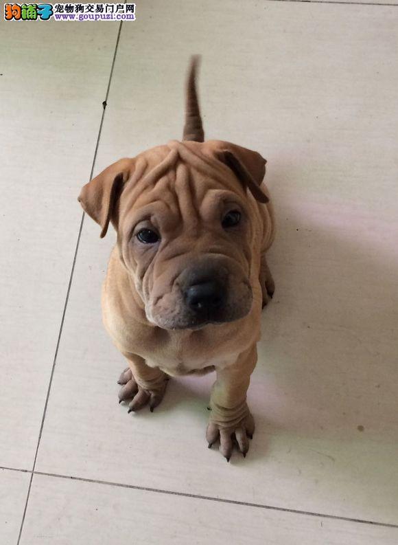 沙皮犬北京朋友可以亲自来狗场挑选质量三包 多只可选