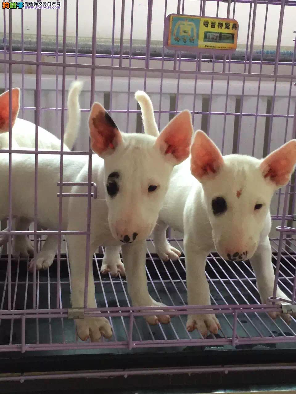 纯种牛头梗幼犬,自家繁殖保健康,购买保障售后