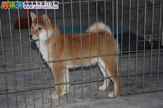 极品秋田犬 保证纯种健康CKU国际认证犬舍 售后指导