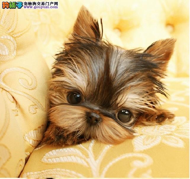 约克夏CKU认证犬舍自繁自销品质血统售后均有保障
