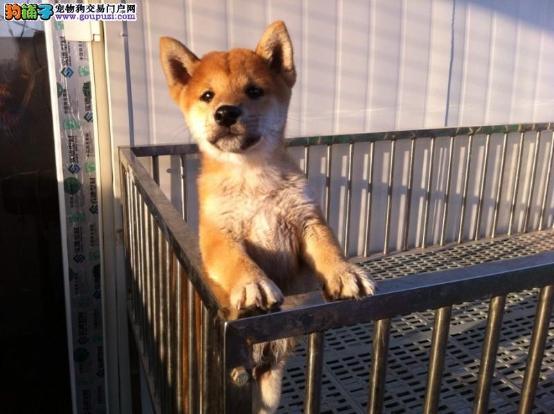 出售精品日本柴犬 幼崽公母都有可亲自来选 售后指导