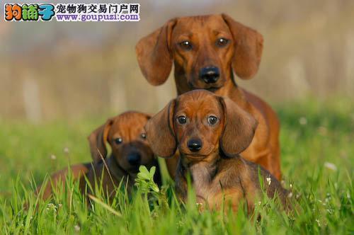 精品腊肠犬 保证纯种健康 包邮送到家