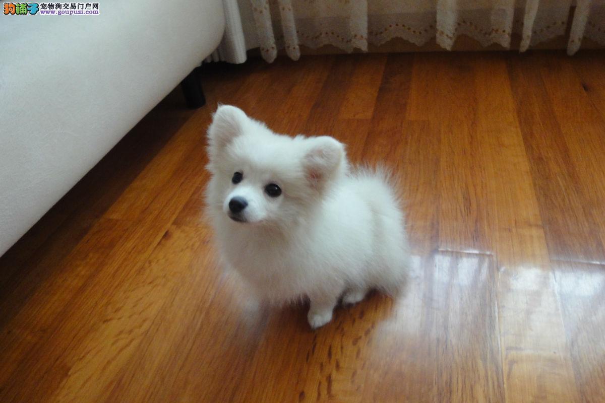 实物拍摄的银狐犬找新主人可签订活体销售协议