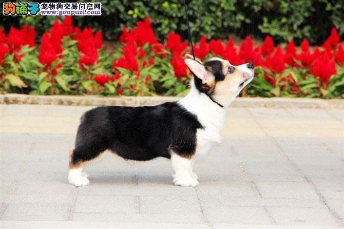 CKU认证犬业 专业繁殖柯基宝宝 绝对信誉 售后支持