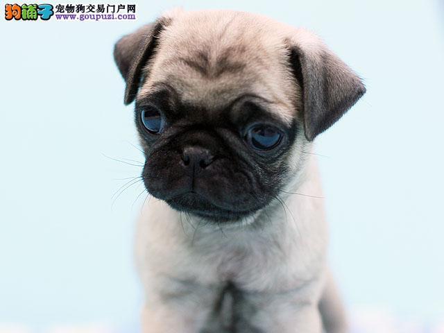八哥犬多少钱,八哥犬图片.纯种八哥犬