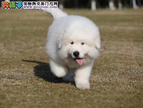 出售高品质大白熊、自家繁殖保健康、微信咨询看狗