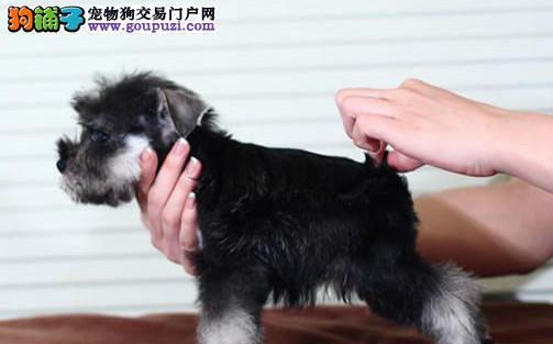 芜湖狗场出售多只雪纳瑞质量保证可上门挑选