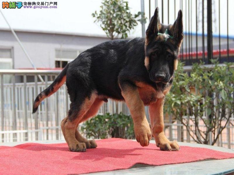纯种 锤系 德牧犬 幼犬出售 德国牧羊犬 黑背 警犬
