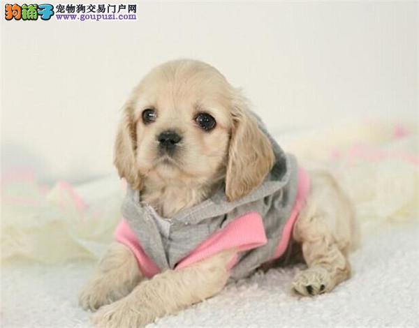 深圳哪里有卖可卡犬,深圳可卡犬一只多少钱
