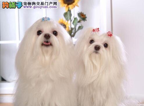 贵族犬可爱的马尔济斯幼犬 送货上门可签健康协议