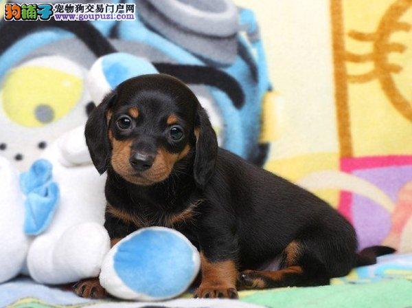 出售郑州腊肠犬健康养殖疫苗齐全一分价钱一分货
