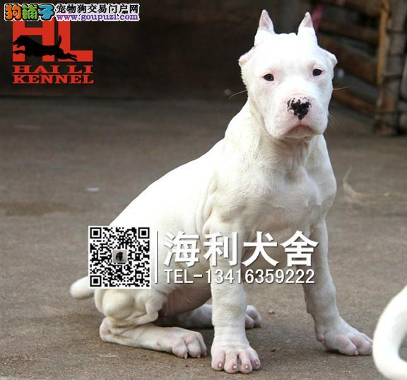 繁殖猎犬杜高幼犬 凶猛阿根廷杜高犬 包健康纯种