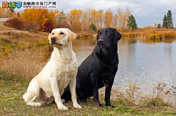 拉布拉多犬怎么看纯不纯 FCI标准高清图片