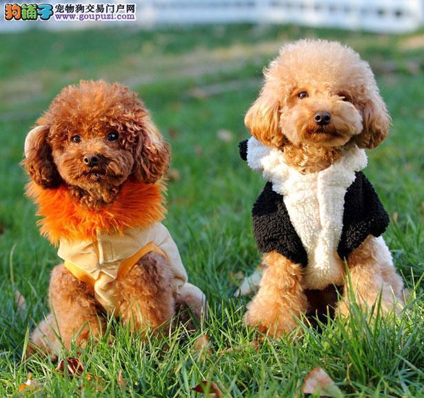 【泰迪犬价格】纯种泰迪犬多少钱一只(全国报价)5