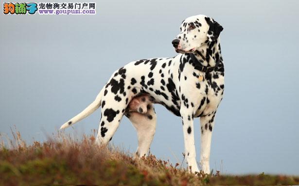 【斑点狗价格】纯种斑点狗多少钱一只(全国报价)