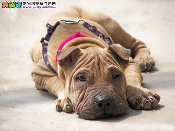 【沙皮狗价格】纯种沙皮狗多少钱一只(全国报价)