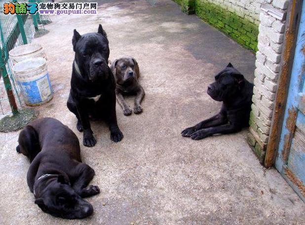 出售纯种健康的上海卡斯罗犬幼犬质保协议疫苗驱虫齐全