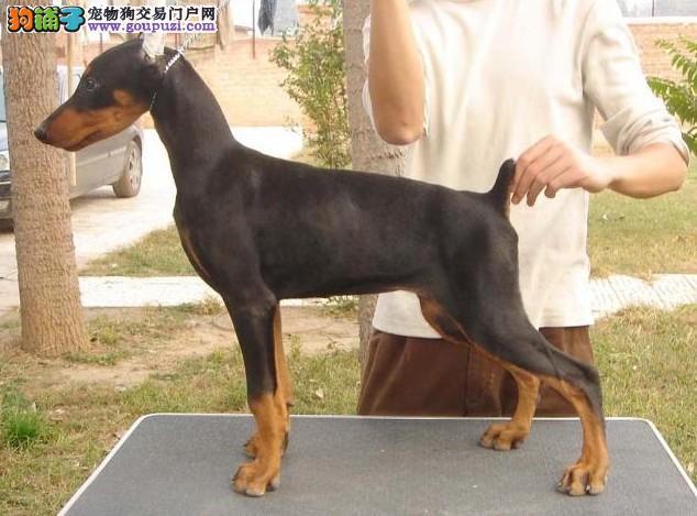 权威机构认证犬舍 专业培育杜宾犬幼犬最优秀的售后