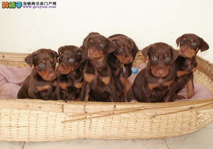 多种颜色的杜宾犬找爸爸妈妈多种血统供选购