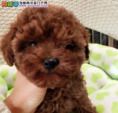 正规专业狗场繁殖可爱韩系贵宾宝宝健康质保纯种签合同
