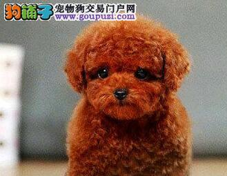 海口犬舍直销茶杯泰迪犬 多种颜色多只幼犬供您选购