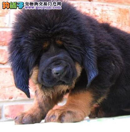 纯种犬繁殖基地 出售 藏獒幼犬 纯种健康可签订协议