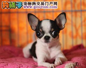 转让小巧聪明的吉娃娃幼犬 上海的朋友可速来犬舍选购
