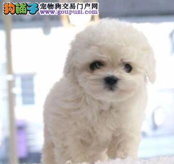 人见人爱花见花开的南京比熊犬开售啦 保证品质