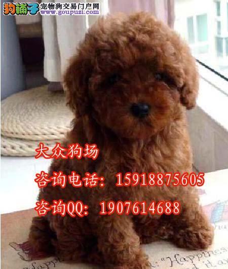 惠州惠城哪里有贵宾狗狗买 一只纯种红色贵宾多少钱