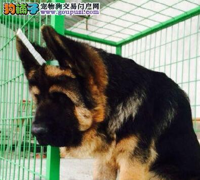 黄南州自家繁殖的纯种德国牧羊犬找主人金牌店铺有保障