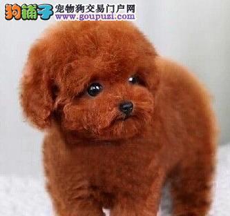 赛级品相的昆明泰迪犬低价出售 保健康保品相保血统