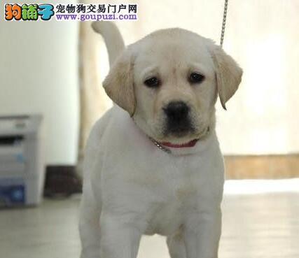 南宁知名犬业出售血统纯正拉布拉多犬 嘴宽骨量毛量大