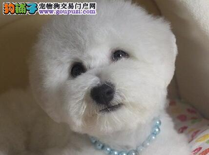 冠军后代幼犬 大眼睛甜美脸型比熊幼犬武汉多只出售