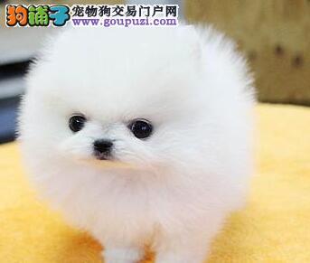 芜湖出售纯种哈多利球体博美,白色博美,黄色博美
