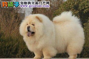 肉嘴紫舌的南京松狮犬火爆热卖中 三个月内免费退换