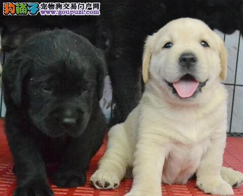 南京拉布拉多犬超低价热销 可以提供血统证书和芯片