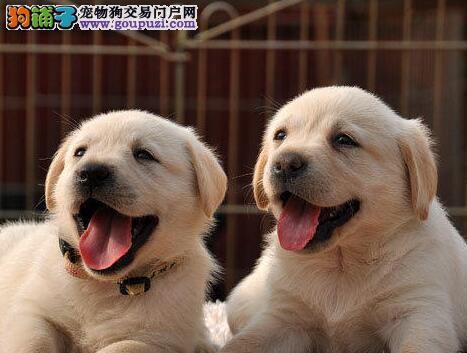 自家繁殖的兰州拉布拉多犬赵新主人 爱狗人士优先选购