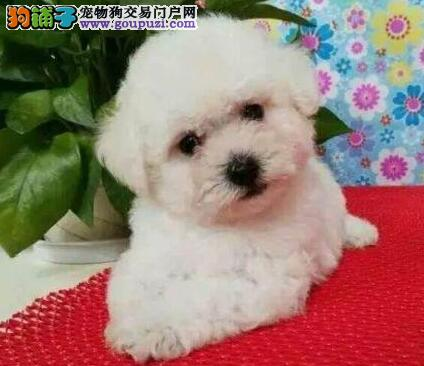 体型较小活泼可爱的西宁泰迪犬找新家 放心选购