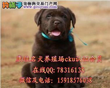 广州哪里犬买拉布拉多最好 出售导盲犬寻回犬拉布拉多
