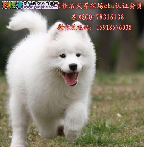 广州哪里买萨摩耶最好 出售纯种萨摩耶犬 澳版萨摩耶