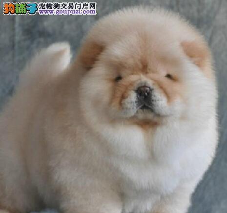 犬舍出售哈尔滨松狮犬疫苗驱虫已做好 可空运客运