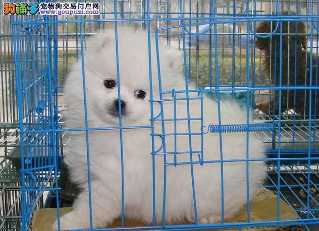 狗场直销哈多利纯种博美犬宠物狗出售纯种健康