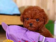 东营泰迪犬品质高血统纯正诚信犬舍直销中欢迎购买