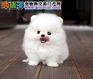 自家繁殖正宗哈多利球体博美幼犬白色博美 韩国小体型