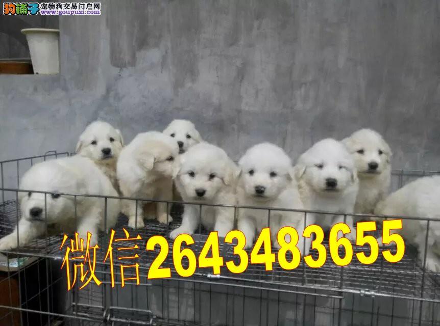 注册认证基地售大白熊幼犬 签协议 包售后 禁止盗图