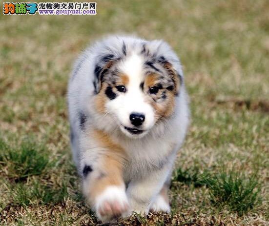 出售纯种苏格兰牧羊犬,三色 雕色 黄色 血统纯