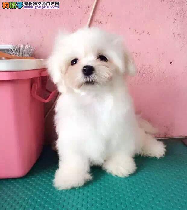马尔济斯幼犬出售中,专业繁殖包质量,购买保障售后